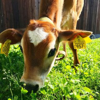 おはようございます😃 今日の草取り業務は裏玄関前です。 #川島旅館 #仔牛のいる宿 #ラムネ #生後3ヶ月です #ちょっと臆病 #つぶらな瞳
