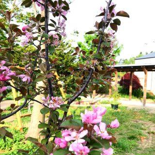 春から初夏に近づいてきましたね。 コロナ休館を利用して裏庭を少し模様替えしました。 りんごの花がいい香りです。 大好きなクレマチスも植えたしましたよ。 #川島旅館 #gardening #仔牛も来るよ