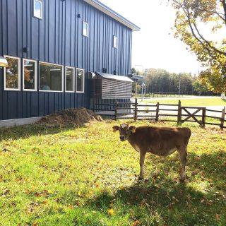 落ち葉の下で草を食むラムネくん。 牛舎に帰る日も近づいてきました。 寂しい。。 #川島旅館 #仔牛のいる宿