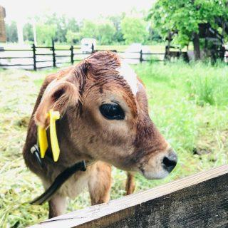 今年のかわいこちゃんが来ました。 まだ小さくて怖がりちゃんですが、少しずつ慣れてきました。 名前は「ラムネ」男の子です。 秋までおりますので、お越しのみなさんはどうぞ可愛がって下さいね。 #川島旅館 #仔牛のいる宿 #butter